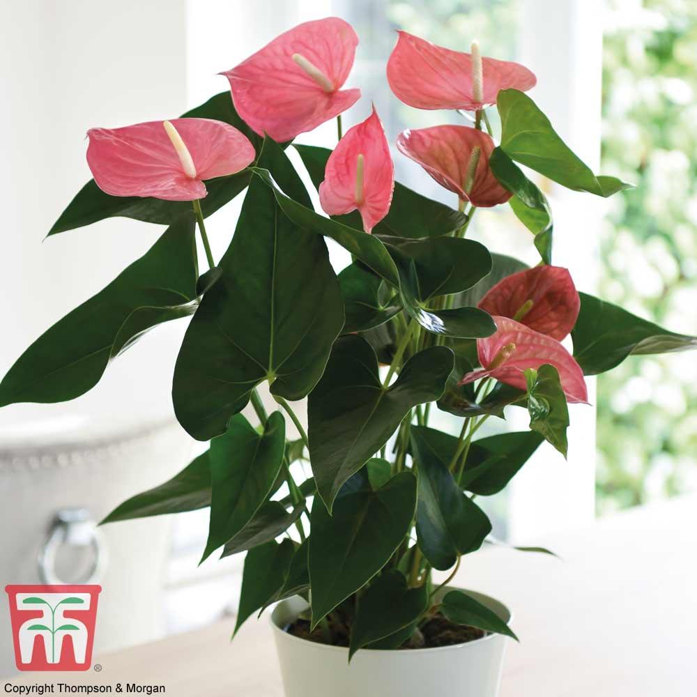 Image of Anthurium andraeanum (House Plant)