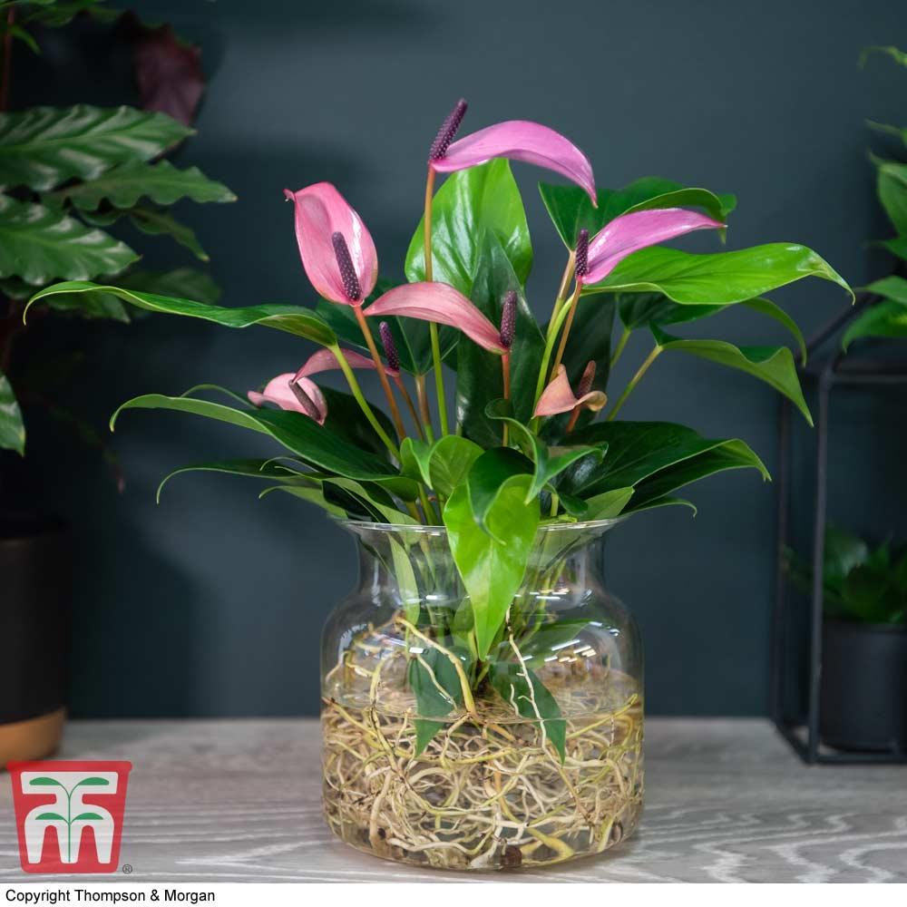 Image of Anthurium Aqua in Sierglass (House Plant)
