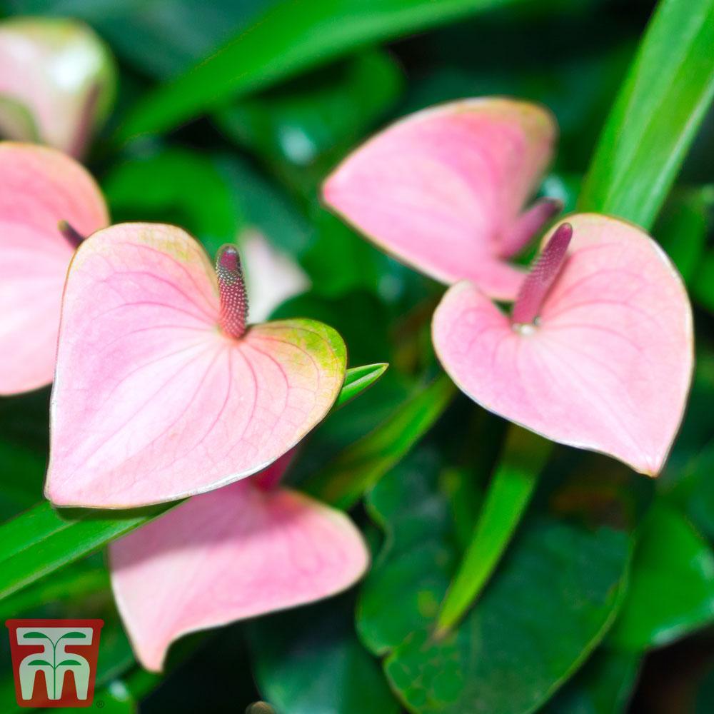 Anthurium Andreanum Sierra White Flamingo Flower Sierra White