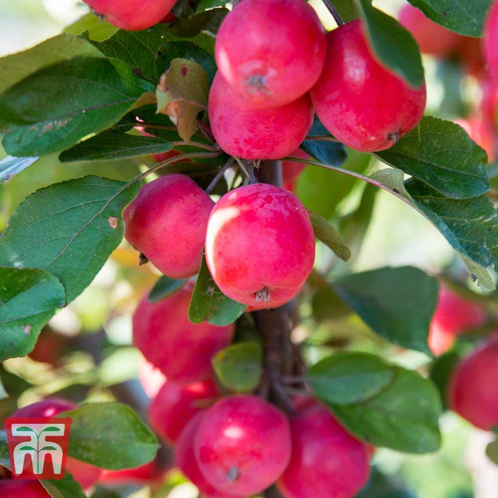 Image of Apple 'Appletini'