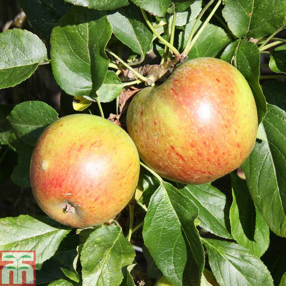 Image of 2 x 11.5 litre potted apple plants (M27 Rootstock)