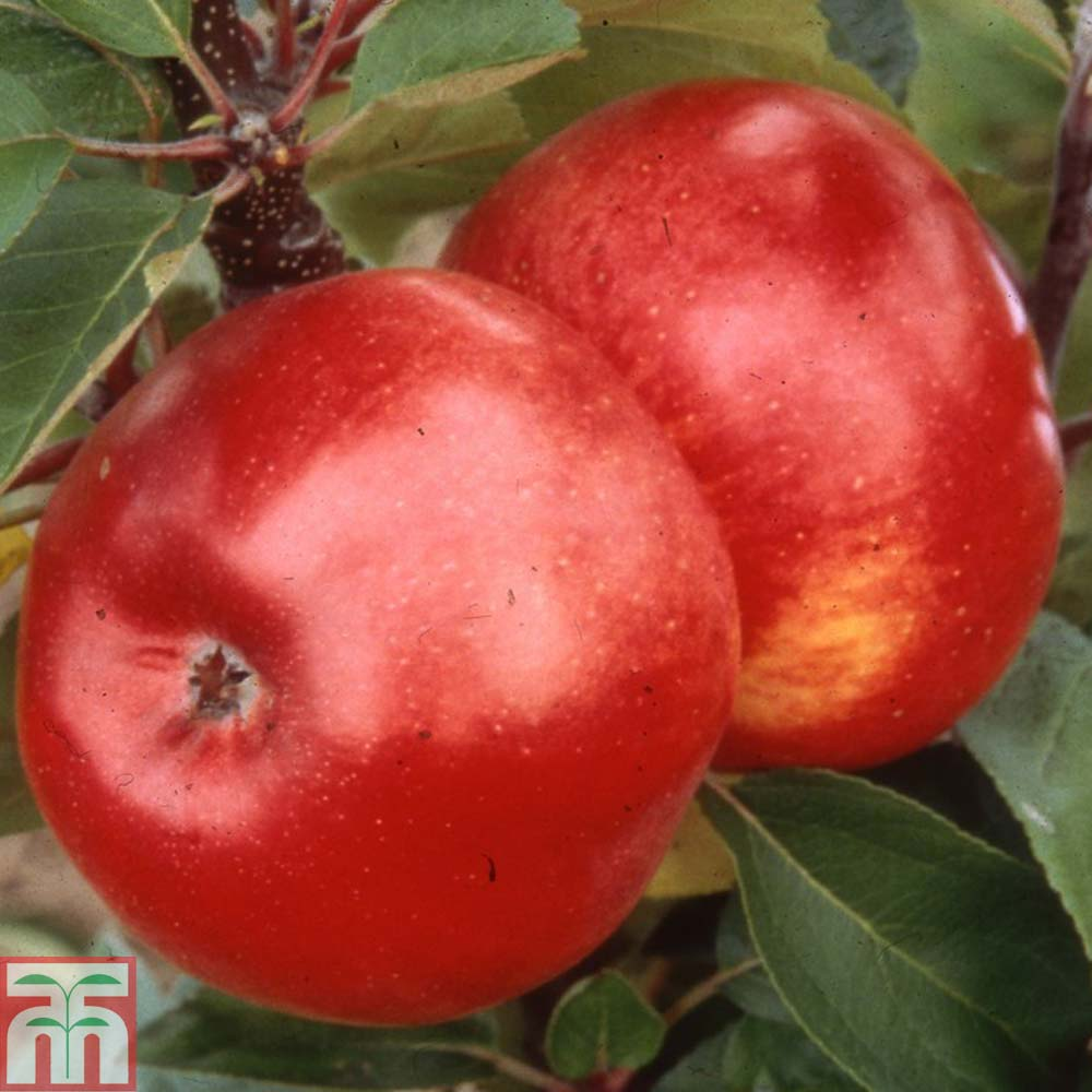 Image of 2 x 12 litre potted apple plant (MM106 Rootstock)