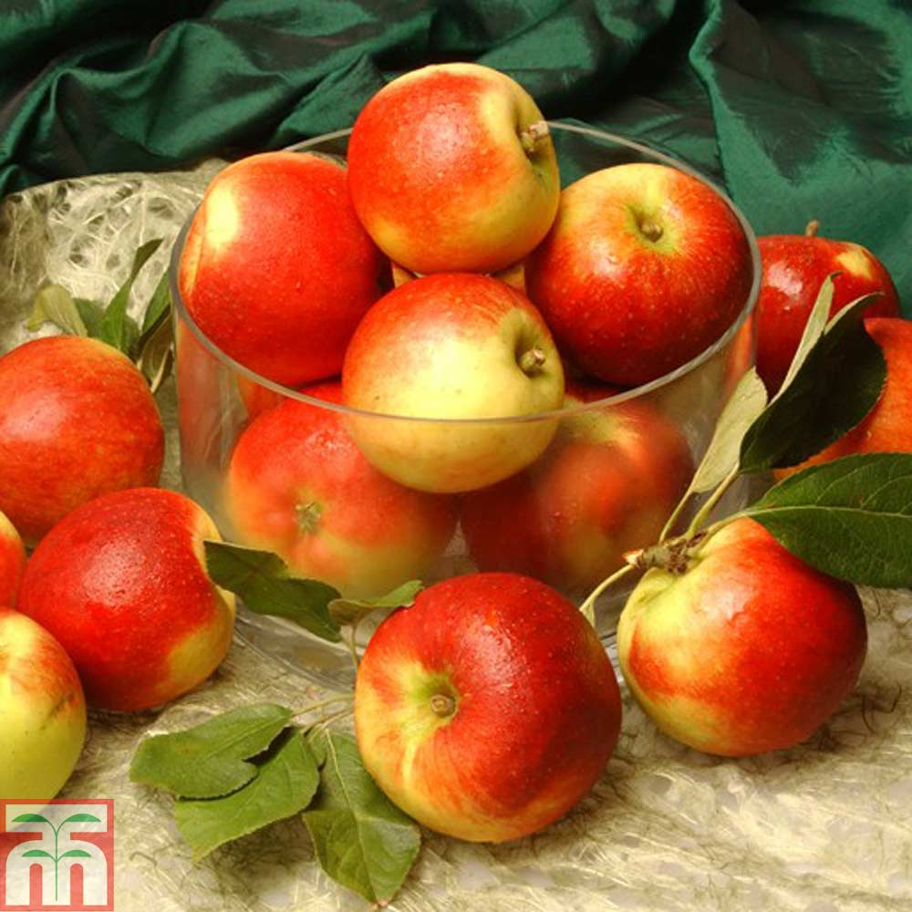 Image of 2 x 12 litre potted apple plants (MM106 Rootstock)