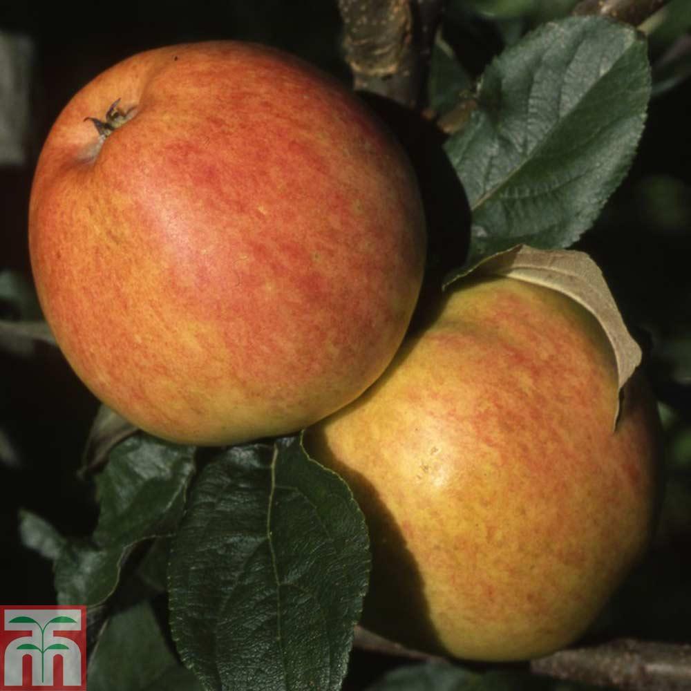 Image of Apple 'Bardsey Island'