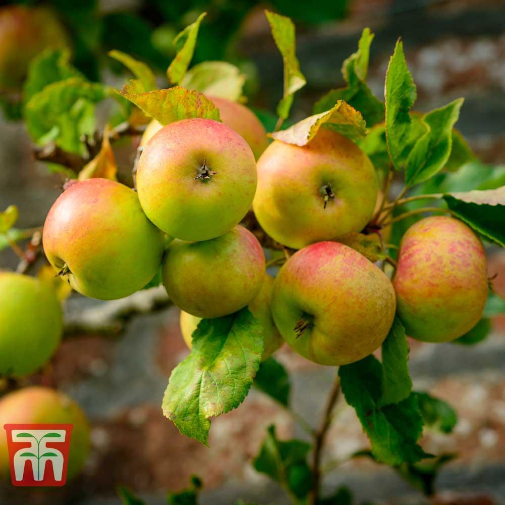 Image of Apple 'Blenheim Orange'