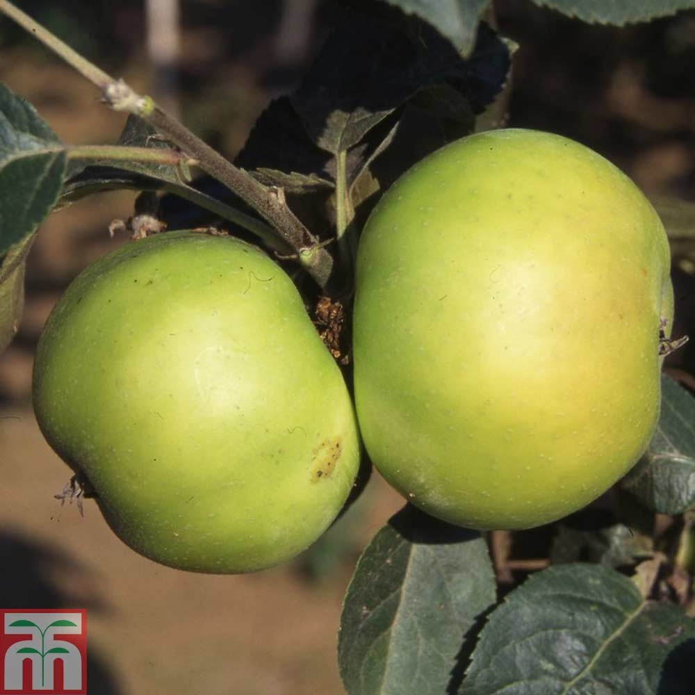 Image of 2 x 12 litre potted apple plants (M26 Rootstock)