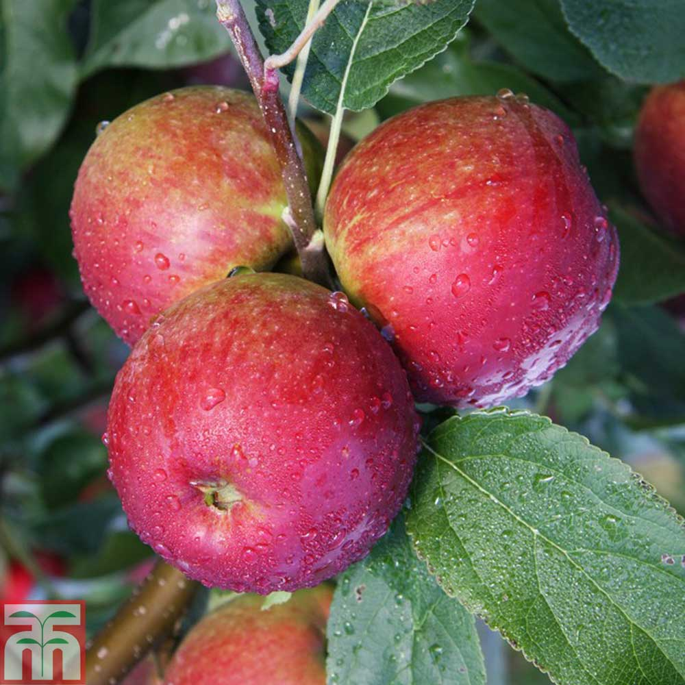 Image of 2 x 12 litre potted apple plants (M9 Rootstock)