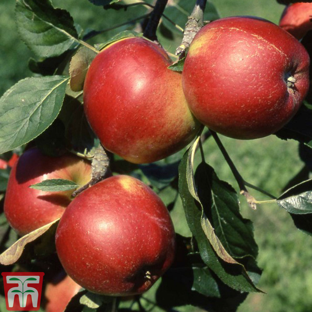 Image of 2 x 12 litre potted apple plants (M27 Rootstock)