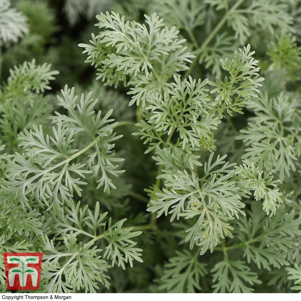 Image of Artemisia arborescens 'Powis Castle'