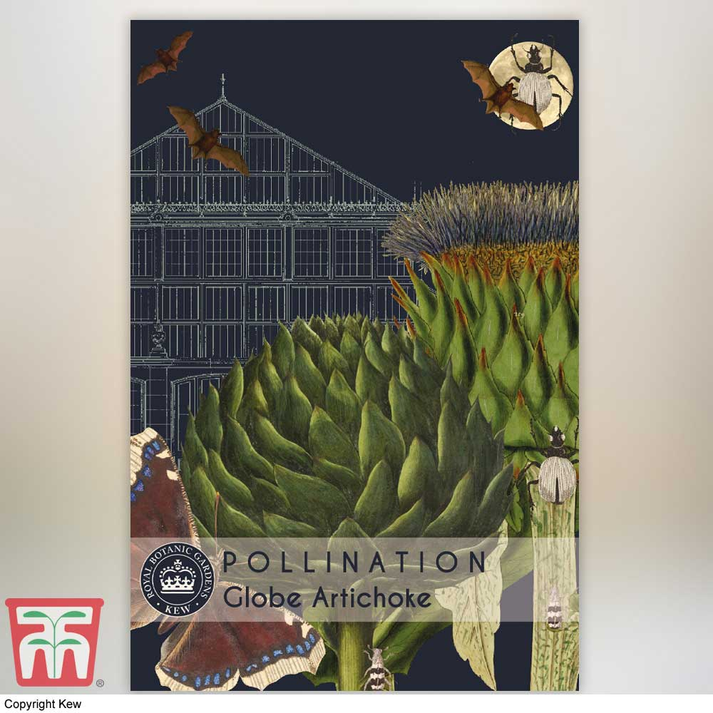 Image of Globe Artichoke 'Green Globe Improved' F1 Hybrid - Kew Pollination Collection