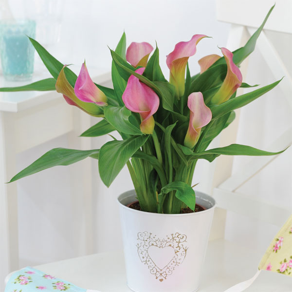 Image of Arum Lily (Pink) (House Plant)