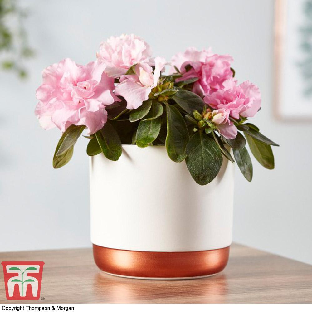 Image of Azalea Indoor (House Plant)