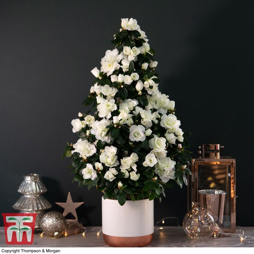 Image of Azalea Tree - Gift