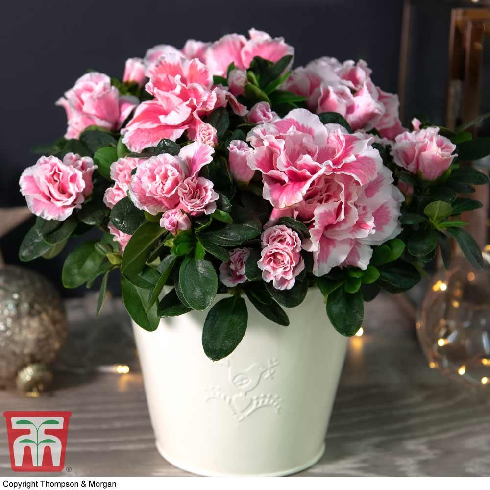 Image of Azalea 'Pink & White Bicolour' - Gift
