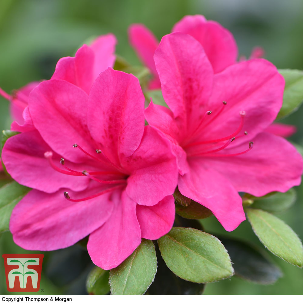 Image of Azalea 'Dwarf Pink'