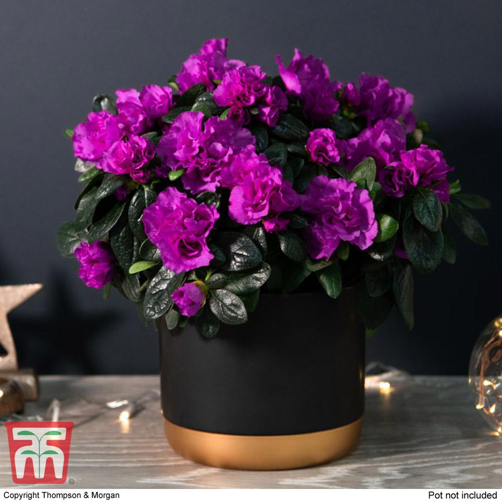 Image of Azalea Purple Rosebud