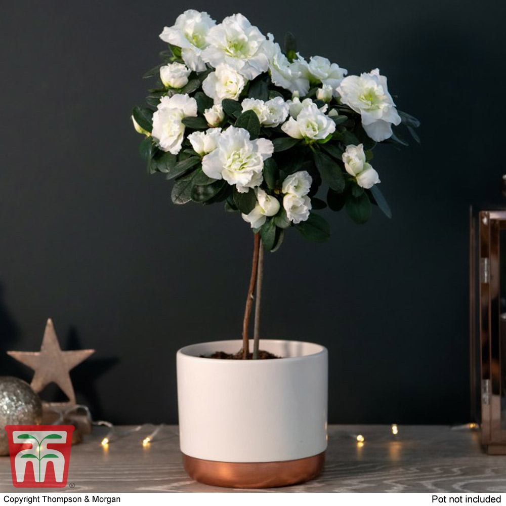 Image of Standard Azalea White