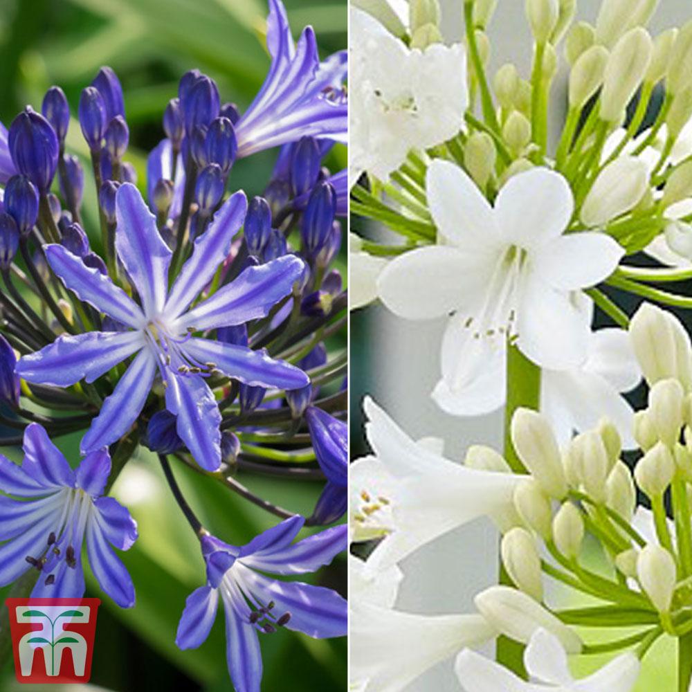 Image of Agapanthus Duo Blue Ribbon & Ever White