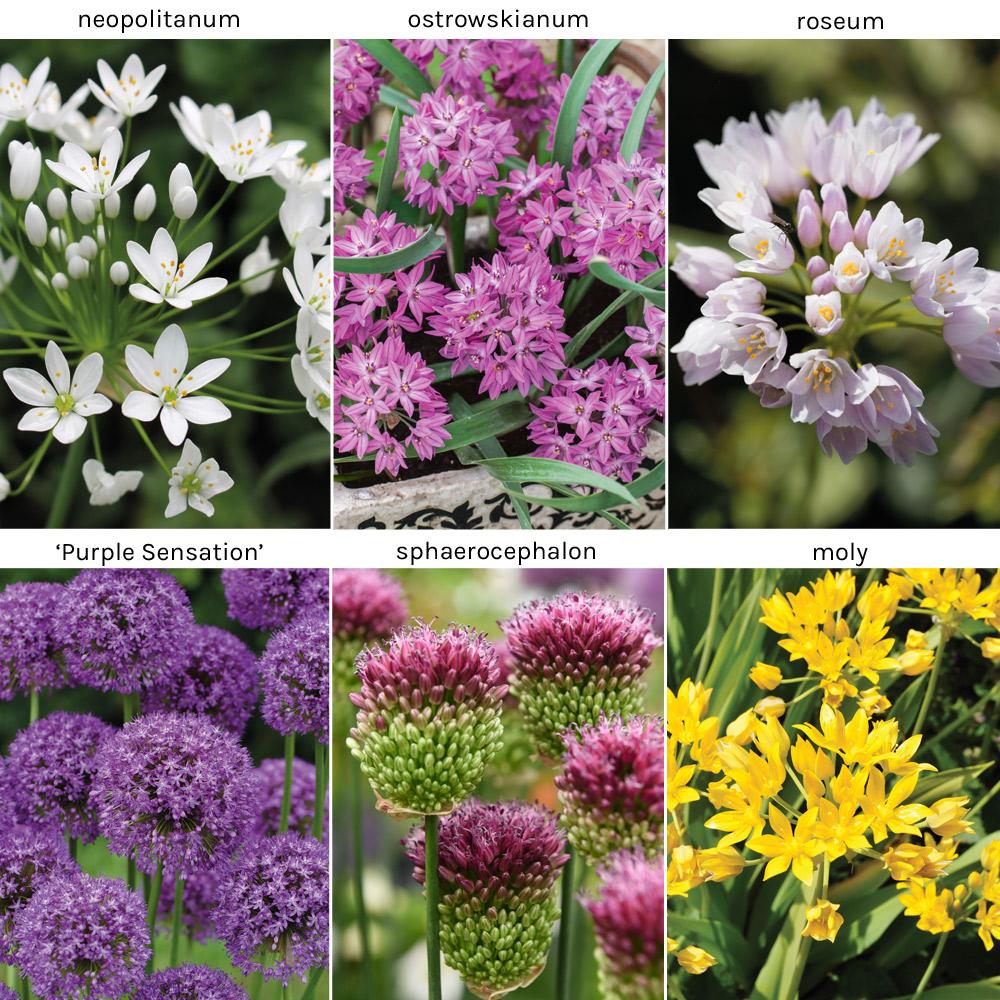 Image of Allium Collection 140 Bulb Mix