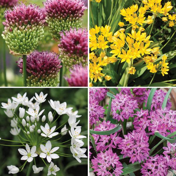 Image of Allium Collection 100 & 200 Bulb Mixes