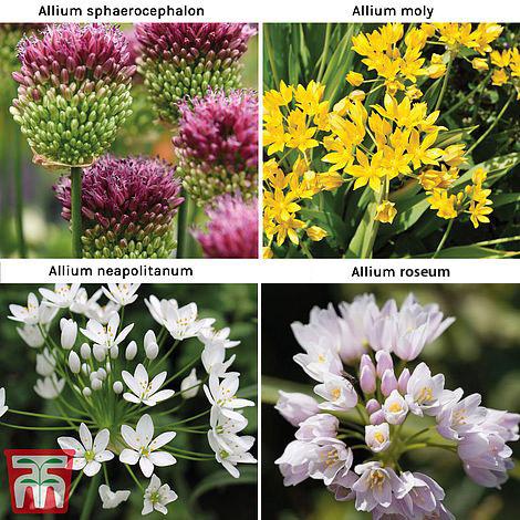 Image of Allium 140 Bulb Collection