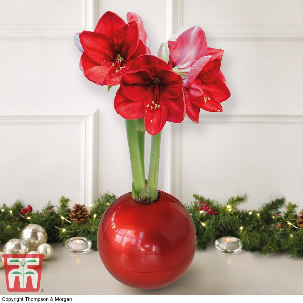 Image of Amaryllis In Globe - Gift