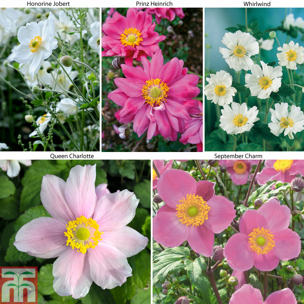 Image of Anemone Collection