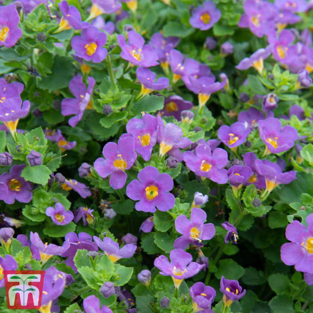 Image of Bacopa 'Scopia Great Blue Regal'