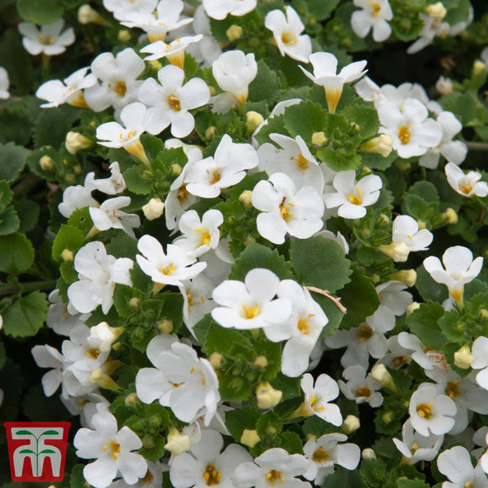 Image of Bacopa 'Scopia White'