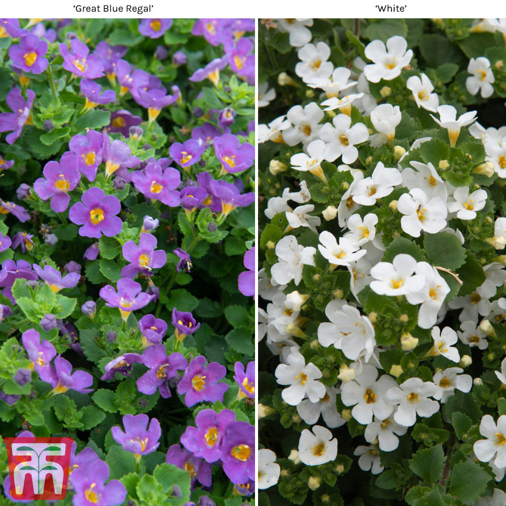 Image of Bacopa 'Scopia Collection'