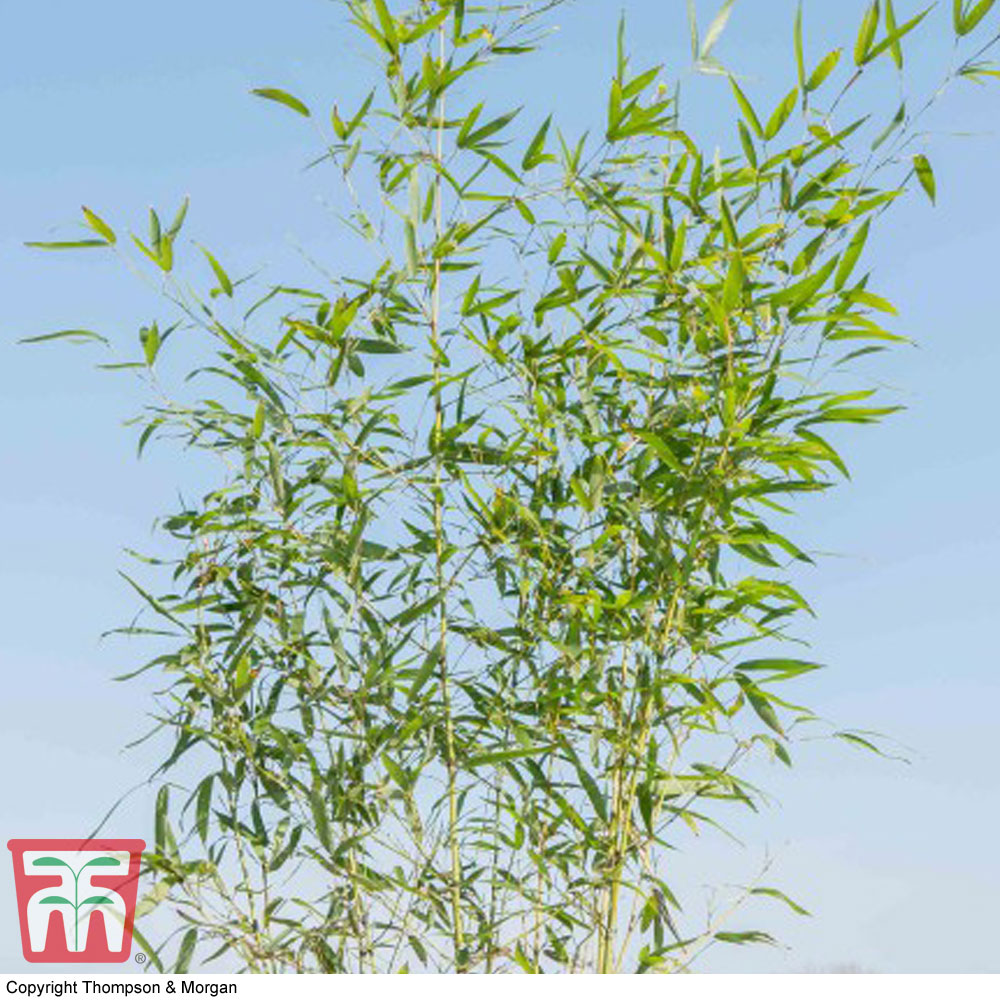 Image of Fish-pole Bamboo