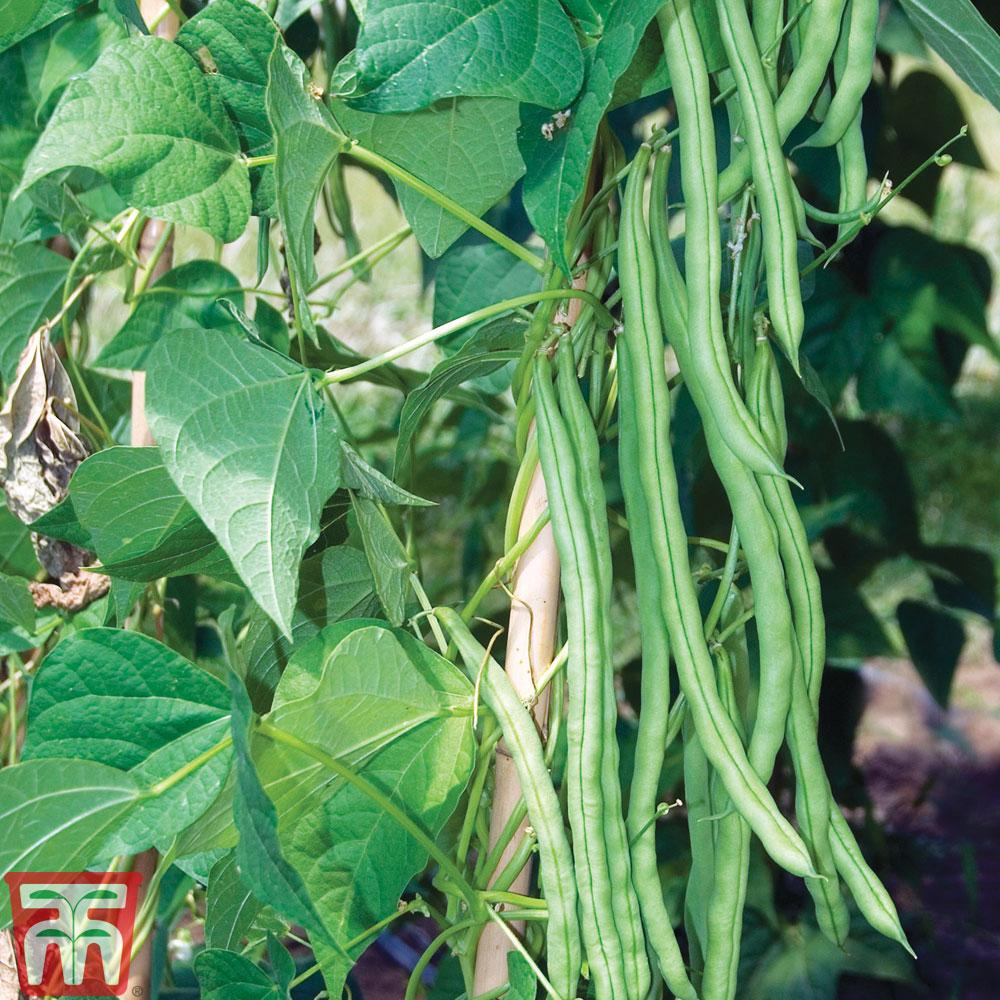 Image of Climbing Bean 'Monte Cristo'