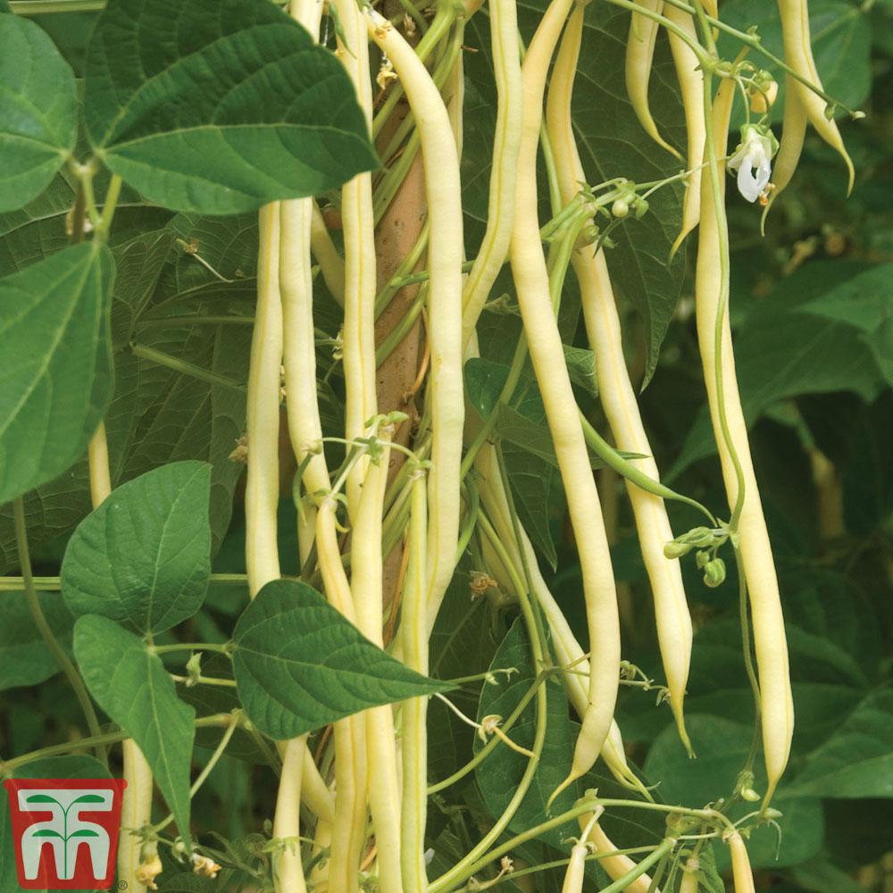 Image of Climbing Bean 'Monte Gusto'