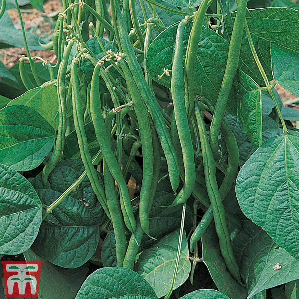Image of Dwarf Bean 'Maxi'