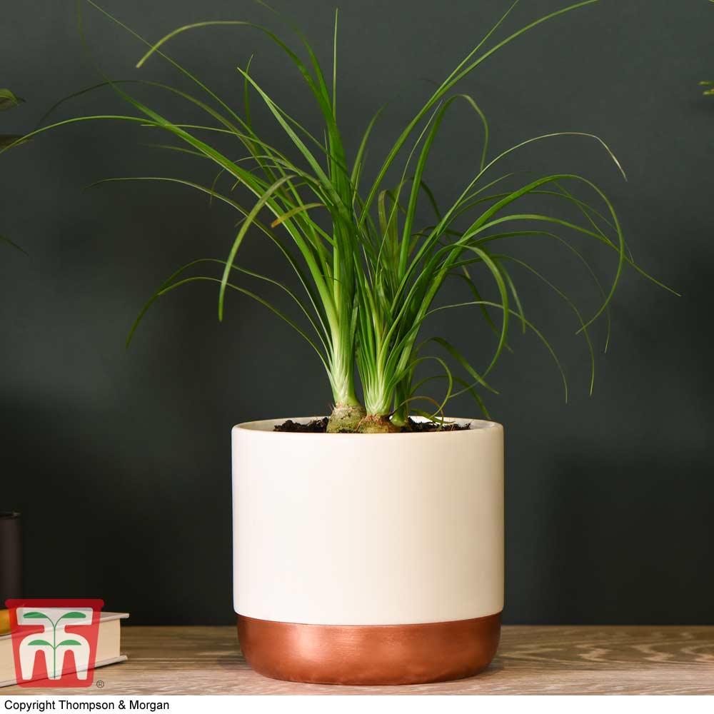 Image of Beaucarnea recurvata (House plant)