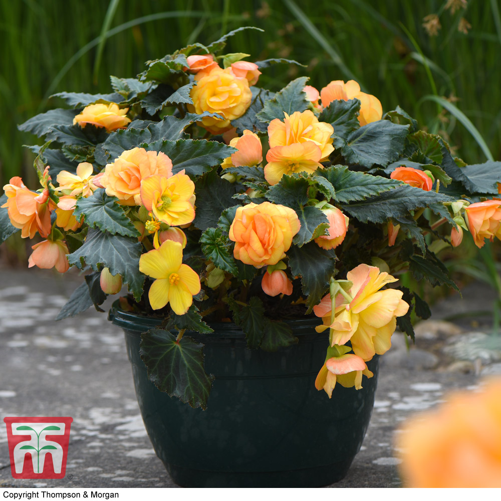 Image of Begonia 'Apricot Shades' Pre-Planted
