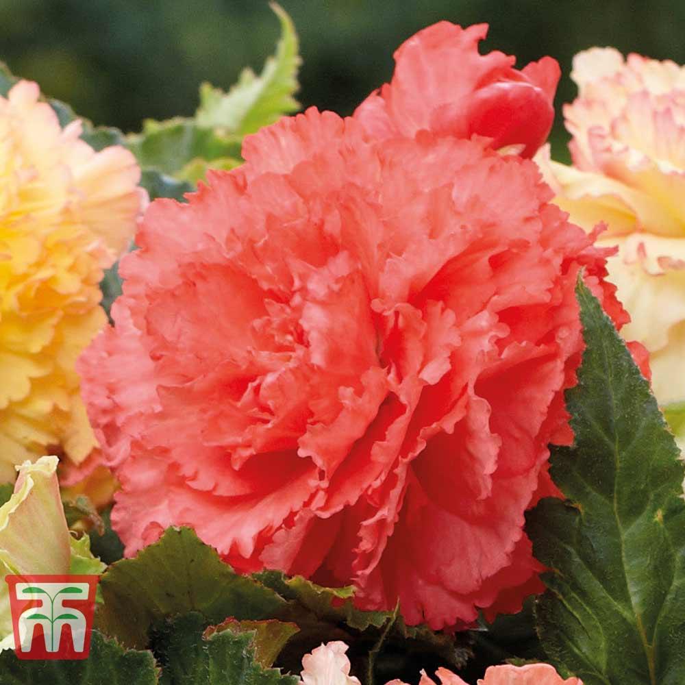Image of Begonia x tuberhybrida 'Giant Picotee Red'