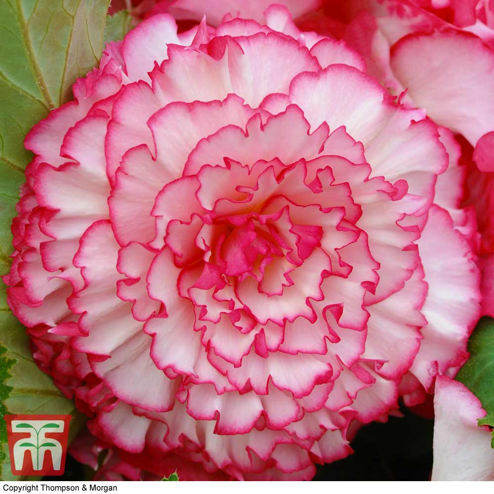 Image of Begonia x tuberhybrida 'Giant Picotee Blush'