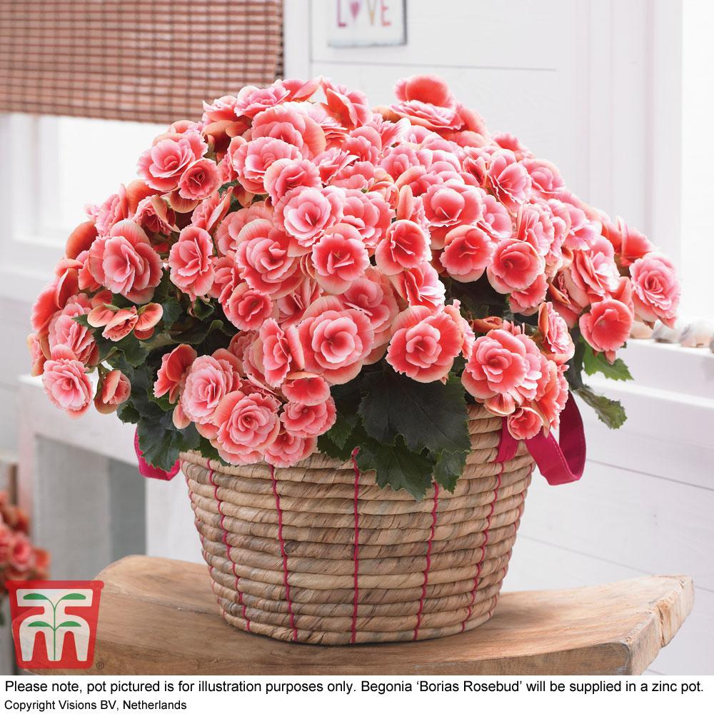 Image of Begonia 'Borias Rosebud' - Gift