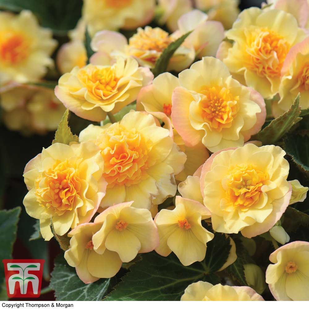 Image of Begonia 'Buffey'