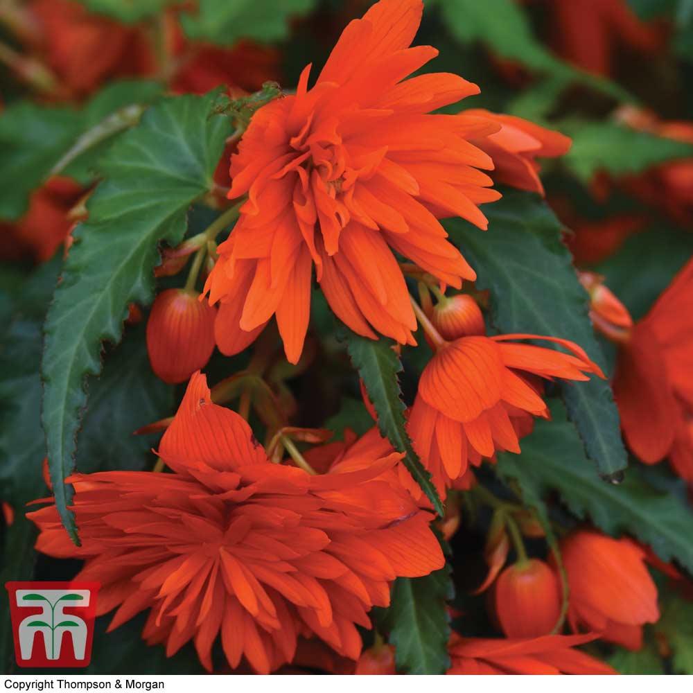 Orange Flowered Perennials At Thompson Morgan