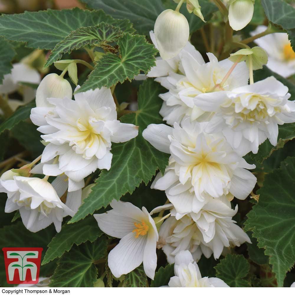 Image of Begonia 'Funky White'