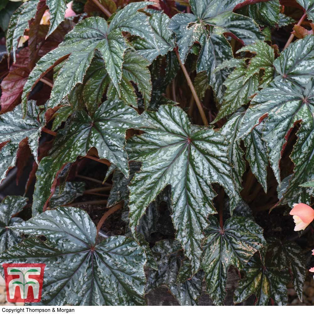 Image of Begonia 'Gryphon'