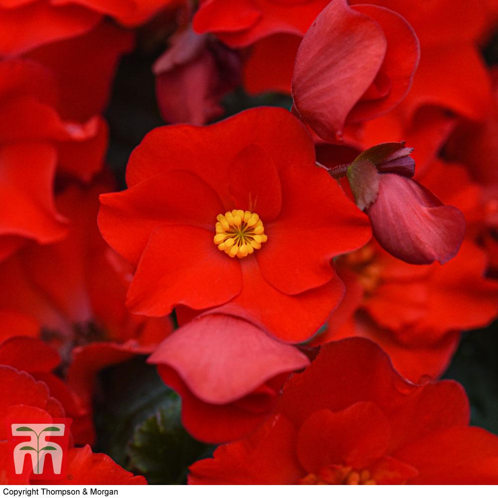 Image of Begonia elatior 'Dreams Garden MacaRouge'