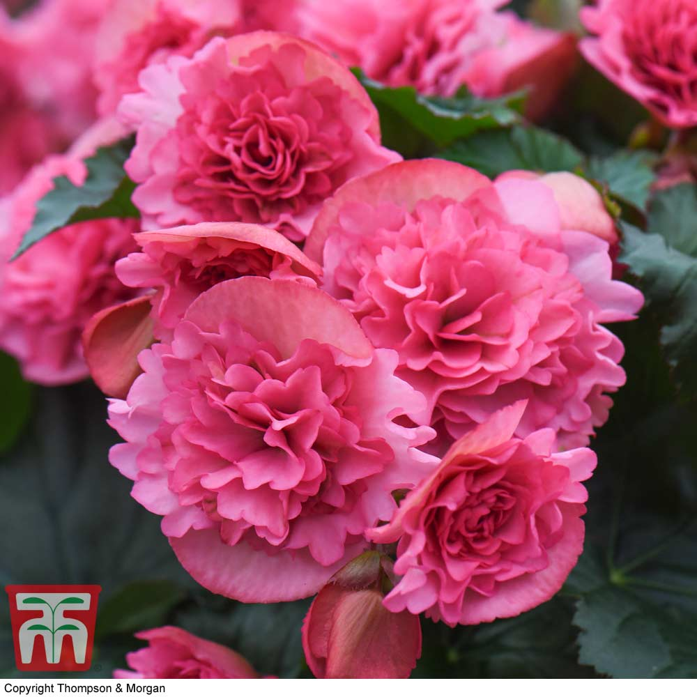 Image of Begonia elatior 'Frivola Pink'