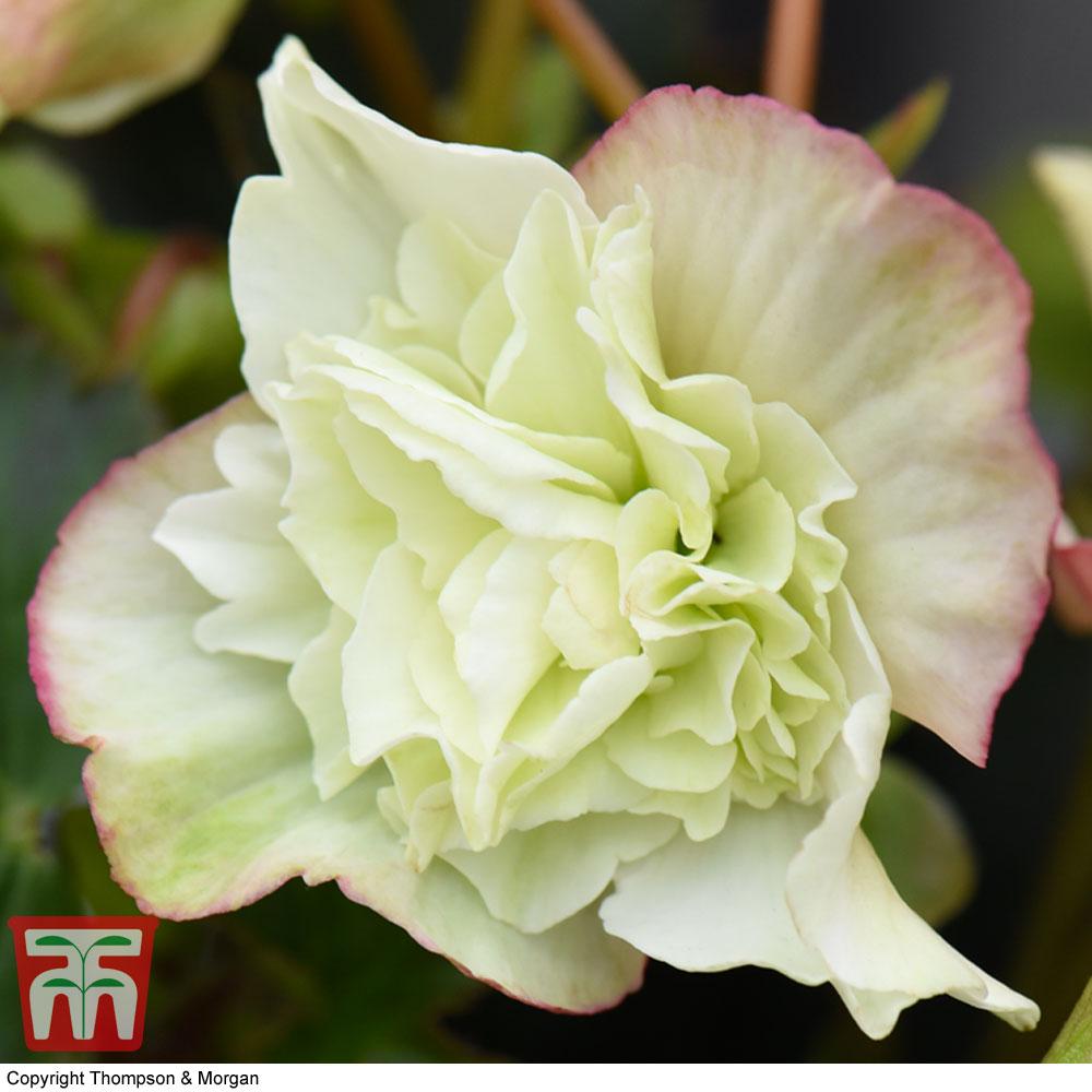 Image of Begonia elatior 'Frivola Lime'