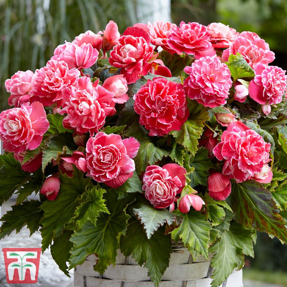 Image of Begonia x tuberhybrida 'Camelia'
