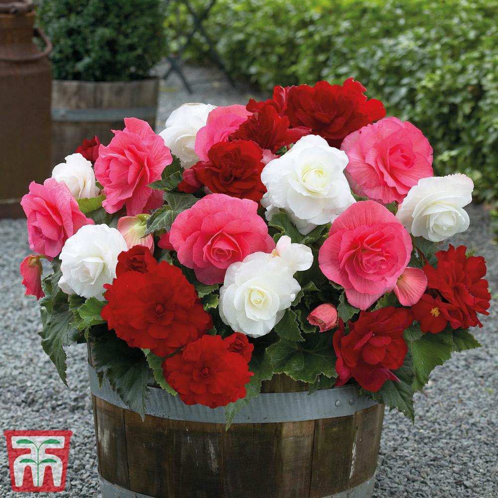 Image of Begonia 'Non-Stop Berries & Cream'