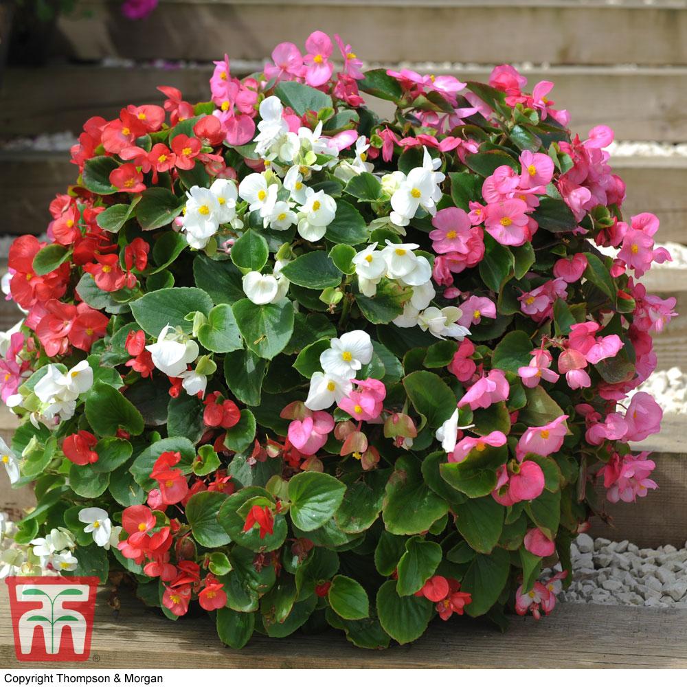 Image of Begonia semperflorens 'Lotto Mixed'