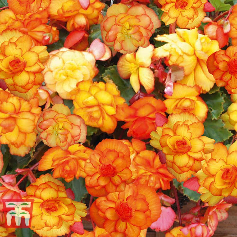 Image of Begonia 'Cascading Fireball'